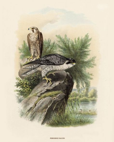 Fine Art Print of the Peregrine Falcon by O V Riesenthal (1876)